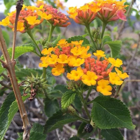 Flowers in a volcanic field in Hawaii